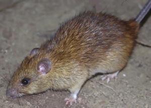 rat control manhattan beach ca